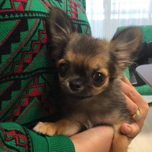 Resultado de imagen para Chihuahua 犬 顔を上げる