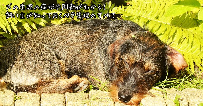 犬の生理の症状や周期がわかる 飼い主が知っておくべき生理のすべて