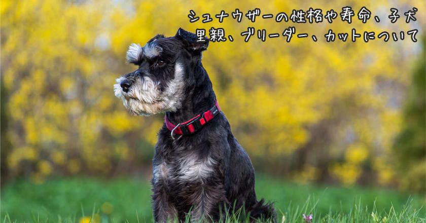 譲渡 子犬 ミニチュア シュナウザー